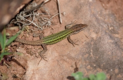 2015, Lacertidae, Lacertinae, Lézards, Maroc, Podarcis, Reptiles, Trips