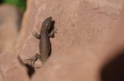 2015, Lacertidae, Lacertinae, Lézards, Maroc, Reptiles, Scelarcis, Trips