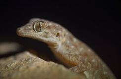 2015, Gekkonidae, Lézards, Maroc, Ptyodactylus, Reptiles, Trips