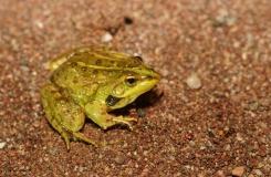 2015, Amphibiens, Anoures, Maroc, Pelophylax, Ranidae, Trips