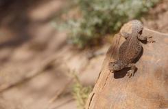 2015, Agamidae, Lézards, Maroc, Reptiles, Trips