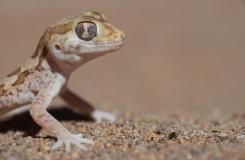 2015, Gekkonidae, Lézards, Maroc, Reptiles, Stenodactylus, Trips