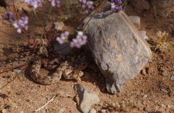 2015, Echis, Maroc, Reptiles, Serpents, Trips, Viperidae