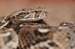 2015, Bitis, Maroc, Reptiles, Serpents, Trips, Viperidae