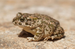 2015, Amphibiens, Anoures, Bufonidae, Maroc, Trips