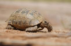 2015, Maroc, Reptiles, Testudinidae, Tortues, Trips