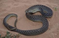 2015, Colubridae, Maroc, Psammophiinae, Reptiles, Serpents, Trips