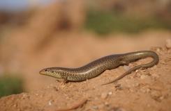 2015, Chalcides, Lézards, Maroc, Reptiles, Scincidae, Trips