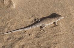 2015, Acanthodactylus, Lacertidae, Lacertinae, Lézards, Maroc, Reptiles, Trips