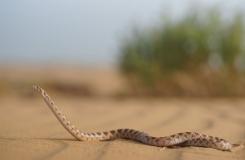 2015, Colubridae, Lytorhynchus, Maroc, Reptiles, Serpents, Trips
