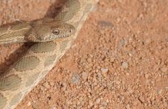 2015, Colubridae, Maroc, Reptiles, Serpents, Spalerosophis, Trips