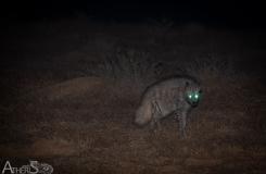 Hyena hyena!
