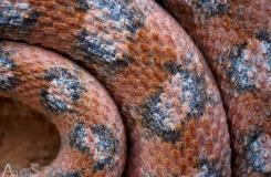 Echis coloratus terraesanctae