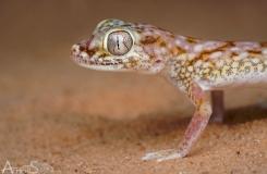 Stenodactylus doriae