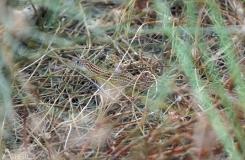 Acanthodactylus schreiberi syriacus