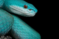 Trimeresurus insularis, blue form!