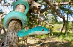 Trimeresurus insularis in habitat