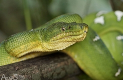 Atheris083