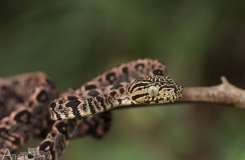 Atheris087