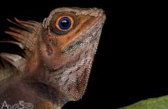 Gonocephalus liogaster