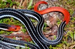 Calliophis bivirgatus tetrataenius