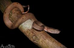 Trimeresurus borneensis