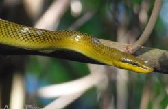 Gonyosoma oxycephala