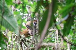 Un singe-araignée peu discret