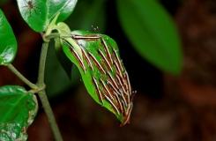 CostaRicaAtheris-127