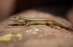 2015, Gallotiinae, Lacertidae, Lézards, Maroc, Psammodromus, Reptiles, Trips