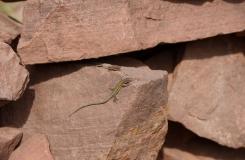 2015, Gekkonidae, Lacertidae, Lacertinae, Lézards, Maroc, Podarcis, Quedenfeldtia, Reptiles, Trips