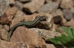 2015, Atlantolacerta, Lacertidae, Lacertinae, Lézards, Maroc, Reptiles, Trips