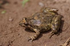 2015, Alytidae, Amphibiens, Anoures, Discoglossus, Maroc, Trips