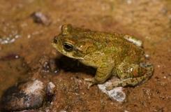 2015, Amphibiens, Anoures, Bufonidae, Maroc, Trips