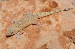 2015, Gekkonidae, Lézards, Maroc, Reptiles, Tarentola, Trips