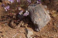 2015, Echis, Maroc, Reptiles, Serpents, Trips, Viperidae