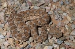 2015, Cerastes, Maroc, Reptiles, Serpents, Trips, Viperidae
