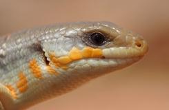 2015, Eumeces, Lézards, Maroc, Reptiles, Scincidae, Trips