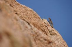 2015, Gekkonidae, Lézards, Maroc, Quedenfeldtia, Reptiles, Trips