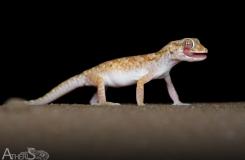 Stenodactylus sthenodactylus
