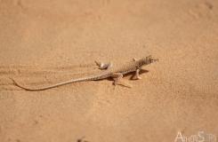Acanthodactylus aegyptius