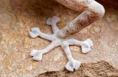 Ptyodactylus guttatus