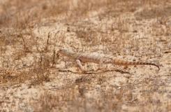 Varanus griseus