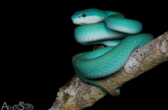 Trimeresurus insularis, blue form!