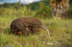 Varanus komodoensis