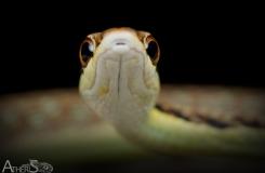 Dendrelaphis inornatus