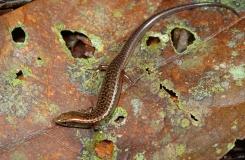Diploglossus bilobatus