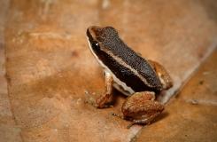Allobates talamancae