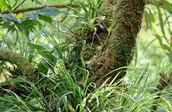 Basiliscus plumifrons