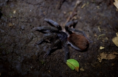 CostaRicaAtheris-163